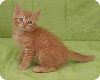 Domestic Shorthair Kitten for adoption in Elkhorn, Wisconsin - Carter