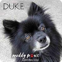 Pomeranian Dog for adoption in Council Bluffs, Iowa - Duke