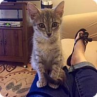 Adopt A Pet :: Abigail - Bulverde, TX