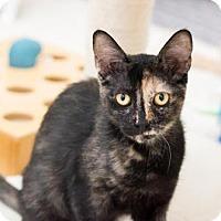 Domestic Shorthair Kitten for adoption in Fountain Hills, Arizona - Spicy