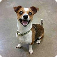 Chihuahua Mix Dog for adoption in Texas City, Texas - FRANKLIN