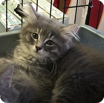 Domestic Mediumhair Kitten for adoption in Thornhill, Ontario - Zeus