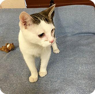 Domestic Shorthair Kitten for adoption in Chino Valley, Arizona - Spunky