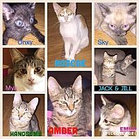 Adopt A Pet :: Lots of kitties -boys & girls - Malvern, AR