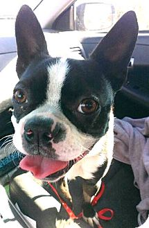 Boston Terrier Dog for adoption in Huntington Beach, California - Mr Teddy