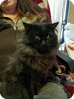 Domestic Longhair Cat for adoption in Chama, New Mexico - Noche