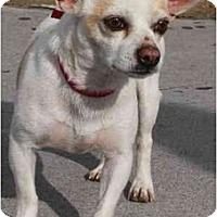 Adopt A Pet :: Pankake - Gilbert, AZ