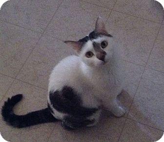 Domestic Shorthair Cat for adoption in Mesa, Arizona - Mollie