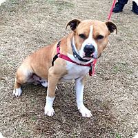Adopt A Pet :: Caesar - Edisto Island, SC