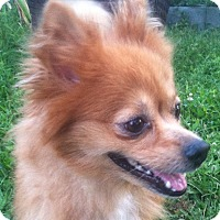 Adopt A Pet :: Honey Pom - Bridgewater, NJ
