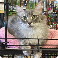 Adopt A Pet :: Steffie - Gilbert, AZ