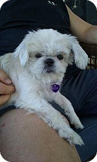 Pekingese Mix Dog for adoption in Bellbrook, Ohio - Bindy