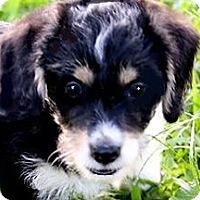Adopt A Pet :: McDUFF(MINI-LABRADOODLE!!) - Wakefield, RI