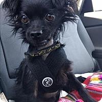 Adopt A Pet :: Bean - Encino, CA