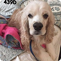 Cocker Spaniel Dog for adoption in Spring, Texas - Lacee