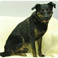 Shepherd (Unknown Type) Mix Dog for adoption in Hawk Point, Missouri - Duke
