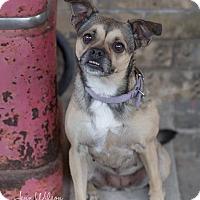 Boston Terrier/Chihuahua Mix Dog for adoption in Arnprior, Ontario - Mia