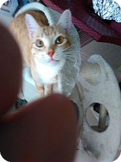 Domestic Shorthair Cat for adoption in Laguna Woods, California - Punky