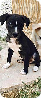 Shepherd (Unknown Type)/Collie Mix Puppy for adoption in Las Vegas, Nevada - Cari