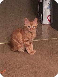 Domestic Mediumhair Kitten for adoption in Whitehall, Pennsylvania - Pumpkin