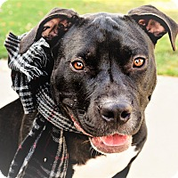 American Staffordshire Terrier/American Pit Bull Terrier Mix Dog for adoption in Eastpointe, Michigan - Spencer