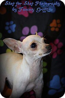 Chihuahua Mix Dog for adoption in Lodi, California - Ziggy