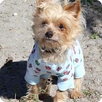 Adopt A Pet :: Yankee - Loxahatchee, FL