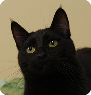 Domestic Shorthair Cat for adoption in Dundee, Michigan - Ophelia - Adoption Pending