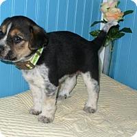 Adopt A Pet :: Buddy - KANNAPOLIS, NC