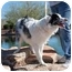 Photo 3 - Australian Shepherd Dog for adoption in Mesa, Arizona - Jett
