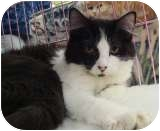 Domestic Longhair Cat for adoption in Sacramento, California - Otto