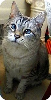 Siamese Cat for adoption in Alexandria, Virginia - CeCe