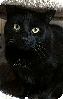 Domestic Shorthair Cat for adoption in Richboro, Pennsylvania - Queen Latifah