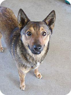 Canaan Dog/Husky Mix Dog for adoption in Stilwell, Oklahoma - Chloe