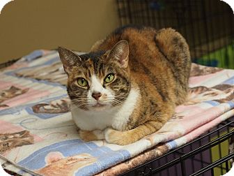 Domestic Shorthair Cat for adoption in Ocean City, New Jersey - Midge