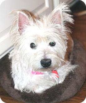 Westie, West Highland White Terrier Dog for adoption in Atlanta, Georgia - Gracie