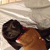 Adopt A Pet :: Cooper - Manchester, CT