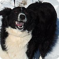 Adopt A Pet :: Dolly - Lebanon, CT