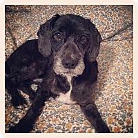 Adopt A Pet :: Oreo - Adoption Pending - West Allis, WI
