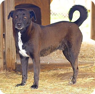 Labrador Retriever/Terrier (Unknown Type, Medium) Mix Dog for adoption in Iola, Texas - Woody