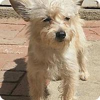 Adopt A Pet :: Custard - Thousand Oaks, CA