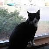 Domestic Shorthair Cat for adoption in Columbus, Ohio - Dinah