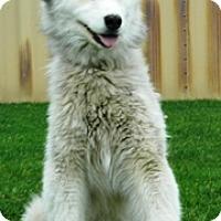 Husky Mix Dog for adoption in Columbus, Nebraska - Amy