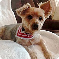 Adopt A Pet :: Sully Sullivan - Sinking Spring, PA