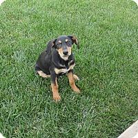 Adopt A Pet :: little bit - mooresville, IN
