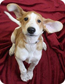 Hound (Unknown Type) Mix Puppy for adoption in New York, New York - Jenny (Manhattan)