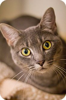 Domestic Shorthair Cat for adoption in Grayslake, Illinois - Maybelline