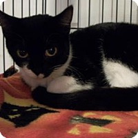 Domestic Shorthair Cat for adoption in Lacon, Illinois - Cracker