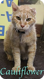Domestic Shorthair Cat for adoption in Bradenton, Florida - Cauliflower