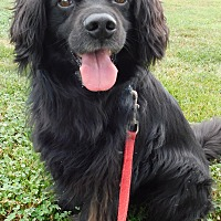 Cocker Spaniel/Retriever (Unknown Type) Mix Dog for adoption in Hedgesville, West Virginia - Berkley